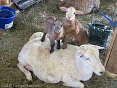 Clare Elizabeth and two of her triplets, from Random Lamb Snaps - 11 favorite photos and the final 2012 lambing season report