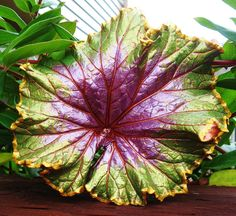 Raspberry Swirl Begonia Concrete Leaf Casting with FREE display stand
