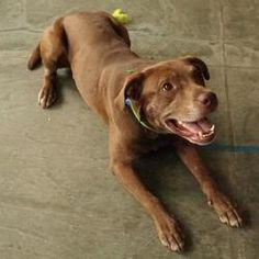 Sammy is an adoptable Labrador Retriever Dog in Mankato, MN. My name is Sammy and I think I'm about 4 years old. I was brought to the shelter in April 2013 because my family was moving and could not b...