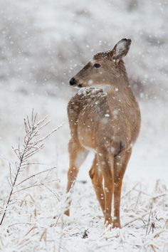 Whitetail Deer - title A Spring Snow - by Ray Hennessy Beautiful Creatures, Animals Beautiful, Cute Animals, Animals In Snow, In This World, Spring Snow, Winter Snow, Winter Time, Winter Scenery