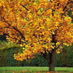 Deciduous Trees, Trees And Shrubs, Flowering Trees, Trees To Plant, Tulip Poplar Tree, Fast Growing Shade Trees, Trees For Front Yard, How To Attract Hummingbirds, Yellow Tulips