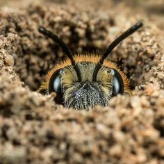 """When you see little ""volcanos"" of loose soil appearing on your garden or lawn; keep a close watch. They could be solitary bee nests! Beauty And The Bees, Buzzy Bee, Mason Bees, Bee Photo, I Love Bees, Bees And Wasps, Bee Friendly, Bee Art, Beautiful Bugs"