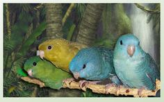Lineolated parakeets. I think if i were to have birds other than budgies, i would want these.
