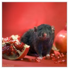 Arkanys 23 - Fancy rat by DianePhotos