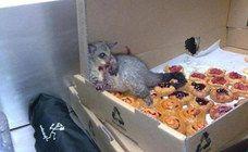 Ein Opossum bricht in eine Bäckerei ein & stopft sich so voll, dass es nicht mehr laufen kann!  :D