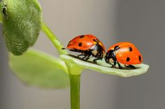 Lienky, Chyby, Hmyz, Pár, Láska