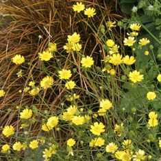Ranunculus californicus. Originally for the planting strip on left of driveway. Now maybe for the grass meadow area.