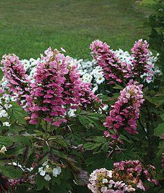 Hydrangea quercifolia, Gatsby Pink® PPAF, , large