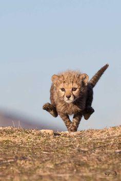 Гепард - самое быстрое животное