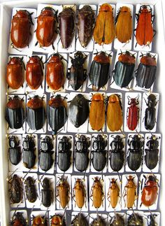 ushishir:  Tray of Specimens from Laos by NHM Beetles and Bugs on Flickr.