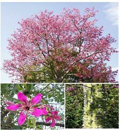 12 best ceiba speciosa tree images on pinterest silk tree cher is back on the charts with womans world the trunkflowering treesurban mightylinksfo