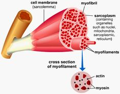 Muscle myofibrils myosin actin.gif