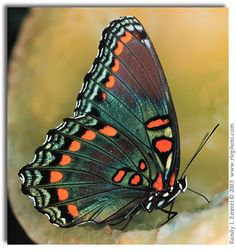 Limenitis Arthemis Photography   Start > Species List > Admirals > Red-spotted Purple
