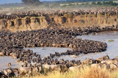 The Great Migration at a river crossing - photo taken by AAC client Bob Miller. We create incredible custom safaris - www.adventuresinafrica.com