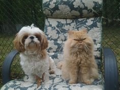 Molly the shih tzu and Ava sharing a patio chair!