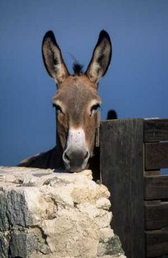.bel âne avec de grandes oreilles