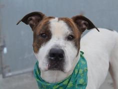TO BE DESTROYED - 03/13/15 Brooklyn Center -P  My name is SPOTS. My Animal ID # is A1028875. I am a male white and br brindle am pit bull ter mix. The shelter thinks I am about 4 YEARS old.  For more information on adopting from the NYC AC&C, or to  find a rescue to assist, please read the following: http://urgentpetsondeathrow.org/must-read/