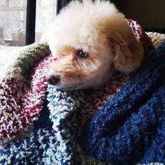 Winter  Life #toypoodle @life1220y  . 寒い日の過ごし方はらいふ嬢に学べママが作ったコタツ布団カバーはあたしのものよ #regram #わんこ #cutepuppy #sweetdog . 記事に登場してくれるワンコを募集#inulog をつけて投稿してね 美犬写真は#wooftoday@inulog.jpもよろしくね