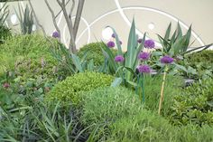 Alliums with dome planting