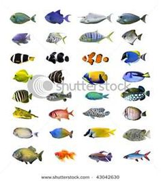 Photo about Collection of colorful tropical fish on a white background. Image of bottom, design, fauna - 12223541 Tropical Fish Pictures, Fish Chart, Fish Background, Saltwater Fish Tanks, Saltwater Aquarium, Fish Stock, Stock Foto, White Stock Image, Animal Sketches