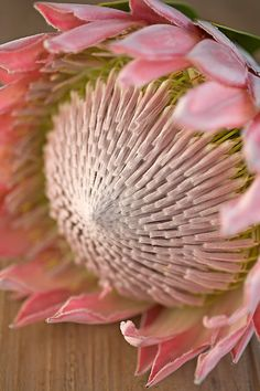 The king of all the flowers, pink king protea.