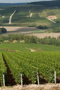 Vineyards in Champagne-Ardenne région, France