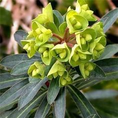 Euphorbia characias 'Humpty Dumpty'    Growth: 60cm High x 60cm Spread     Large yellow-green flowers on short compact plant, great for small gardens.