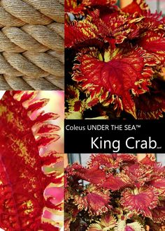 New for 2013! Coleus UNDER THE SEA King Crab
