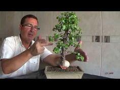 Portulacaria afra desde cero+1 Poda alambrado trasplante semidefoliado Técnicas cultivo y formació - YouTube