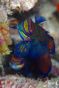 Mandarin Fish ~ the most decorated and beautiful fish in the sea!