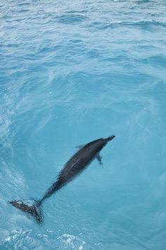 Hawaiian Spinner Dolphin (Stenella longirostris) Midway Atoll - Hawaii - USA www.daisygilardini.com