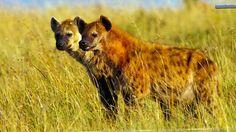 Hyena's kennen geen romantiek in de liefde.
