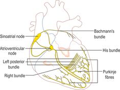 Animated Electrical Conduction System Png Animated - Conduction System Of The Heart Sinoatrial Node, Heart Pressure, Animal Crossing Wild World, Peripheral Nervous System, Cardiac Nursing, Heart Outline, Online Programs, New Hobbies, Hearts