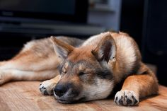Shikoku, Japanese Wolfdog, 四国犬