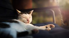 Buy Cat by fotyma on PhotoDune. cute cat sleeping in the sunset light Cute Cat Sleeping, Typography Logo, Logos, Fitness Logo, Buy A Cat, Sunset, Animals, Animales, Animaux