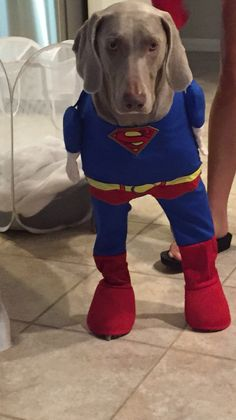 64 Best Weimaraner Halloween Costumes Images In 2019 Weimaraner