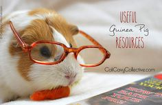 Useful guinea pig resources, including links to a GP emergency medical guide, where to buy quality hay, how to find a knowledgeable GP vet, where to adopt, etc.