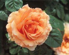 polka meitosier meilland rosier grimpant 3m  parfumé,  double, très vigoureux et très remontant, grandes fleurs de couleur orange mandarine. Rosier qui résiste bien aux maladies