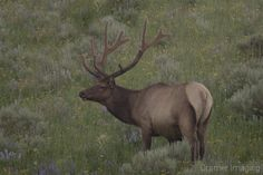 Elk.  Learn more about it and our #IdahoArt at www.cramerimaging.com.