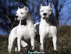 Dogo Argentino, ¡el gran cazador!