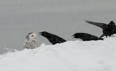 Crows not happy about the snowy owl in their space in Winthrop, MA, and won round one. Photo credit: Nanci St.George