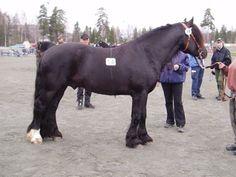 Dølehest - stallion Tuster Blesen