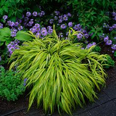 "Love the lime and purple combo. Too bad Japanese Forest Grass (Zone 5) doesn't grow very well in my Zone 3 garden. It's alive and healthy, but has only grown to be about 8"" in diameter..."