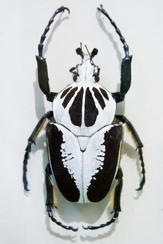CC291 Goliathus regius Insect Museum by listentoreason, via Flickr