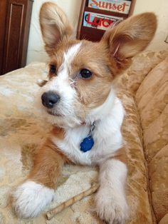 Louie the Maltese/Corgi Mix.  Look at those Corgi ears - too cute!