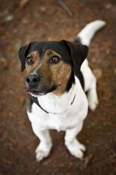 CHIPPY IS SO CUTE! This young Jack Russell Terrier is available for adoption from Animal Helpline Dog Rescue Peterborough http://www.dogsblog.com/chippy-2/