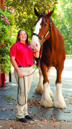 What It's Like to Train the Budweiser Clydesdales - St. Louis Magazine