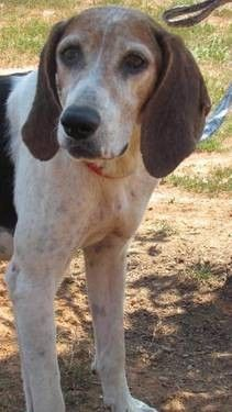 for sale, Treeing Walker Coonhound - Millie - Extra Large - Adult - Female Magnificent Mil. Americanlisted has classifieds in Meherrin, Virginia for dogs and cats. Kennel hounds, dogs and all kinds of cats Treeing Walker Coonhound, Kinds Of Cats, Beagle, Dog Cat, Hunting, Fishing, Pets, Animals, Beautiful