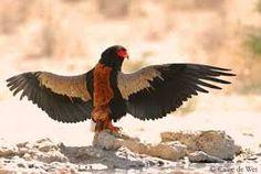 Image result for Wildlife photography of bateleur Eagles