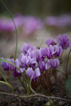 Autumn flowering cyclamen: Cyclamen hederafolium Photo: Britt Willoughby Dyer